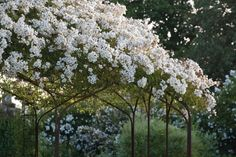"""Sissinghurst white garden Rosa Mulliganii ; Gardenista 