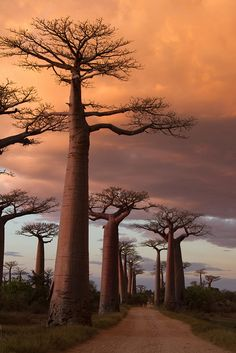 Avenue of the Baobabs by jw234, via Flickr