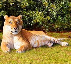 hercules the 900 pound liger a cross between a lion and a tigerhercules the largest non obese liger who is recognized by the guiness book of