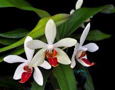 Vandenopsis Newberry Whimsy