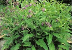 Comfrey - ingredient used to create & Inflammation Of The Stomach, Comfrey Salve, Salve Recipes, Edible Plants, Infused Oils, Medicinal Plants, Natural Medicine, Herbal Remedies, Planting Flowers