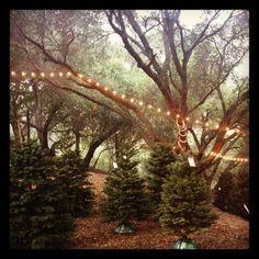 Sweetest Christmas Tree Lot E V R Old Topanga Rd Rabbit Farm Lots 1950s