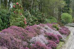 Bruyère est un terme générique qui s'applique à trois genres d'arbustes ou arbrisseaux : Erica, Calluna et Daboecia. Ils ont en commun de posséder un feuillage très fin, persistant, de petites fleurs en grelots et de pousser dans une terre acide pour...
