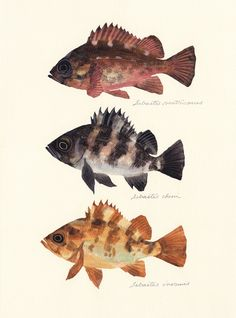 "Sebastes ventricosus, S. cheni, S. inermis / Japanese rockfish / ""Mebaru"" (メバル3種 Sebastes ventricosus, S. cheni, S. Usa Fishing, Rockfish, Fish Print, Old Paintings, Resin Crafts, Cool Drawings, Wood Art, Art Inspo, Animals And Pets"