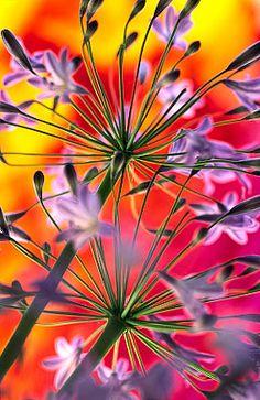 Flowers...Flowers...Flowers... Agapanthus