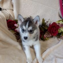 Siberian Husky Puppy Siberian Husky Puppies Husky Puppies For