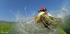 Der Marienkäfer liebt Löwenzahn und trockene Wiesen, wie es sie viel am Rande des Thüringer Waldes gibt. Der gepunktete Käfer saugt täglich bis zu 50 Blattläuse aus und ist daher sehr nützlich bei der biologischen Schädlingsbekämpfung – Diese Karte hier online kaufen: http://bkurl.de/pkshop-211165 Art.-Nr.: 211165 Nützlich | Foto: © Solvin Zankl | Text: Rolf Bökemeier