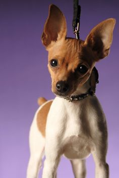 Toy Fox Terriers are often mistaken for chihuahua's, but are a totally separate breed.  Small, but fearless.  Very trainable and love to play.  Great little dogs.  This one is Oliver - Photo by Ted Prescott - On The Spot Studios