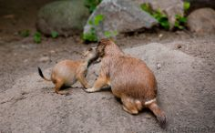 Prairie Dog Kiss by Tway Photography