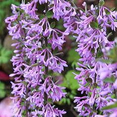 Beautiful, long wands of lavender-purple blooms arise in the spring, ripe for the cutting, and the colorshow continues into autumn with satiny green leaves! Daphne Genkwa