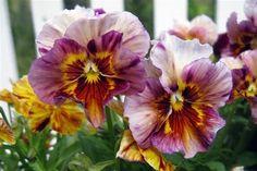 Brush Strokes Viola (Pansies)