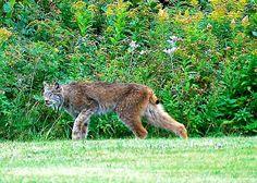 Nova Scotia Cabot Trail, Lynx.  I don't think he likes me.