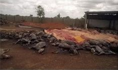 Pétition : Stop à l'élimination massive des ânes au Burkina Faso