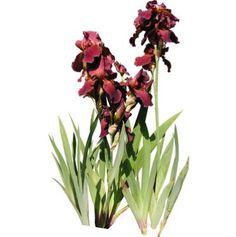 cutout flowers: Tall Bearded iris (free clip map textures)