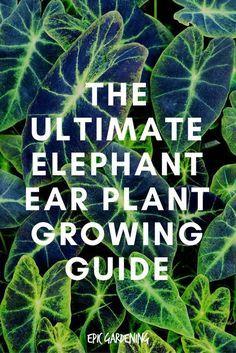 Elephant Ear Plant Indoor, Elephant Ear Bulbs, Elephant Plant, Elephant Ears, Elephant Tattoos, Shade Garden, Garden Plants, House Plants, Potted Plants