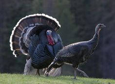 Choosing The Best Turkey Call - HuntingTopic Coyote Hunting, Pheasant Hunting, Hunting Guns, Archery Hunting, Turkey Fan, Best Turkey, Wild Turkey, Saltwater Fishing, Kayak Fishing