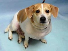 ★12/14/15 STILL THERE★Brooklyn Center CHICO – A1059911  NEUTERED MALE, WHITE / TAN, BEAGLE / JACK RUSS TERR, 4 yrs  OWNER SUR – ONHOLDHERE, HOLD FOR DOH-B Reason BITEPEOPLE  Intake condition EXAM REQ Intake Date12/08/2015, From NY 11224, DueOut Date ,  Urgent Pets on Death Row, Inc