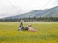 bears in field - two brown bears in a field, playing