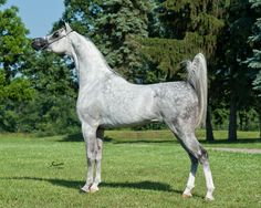 Beijing BHF (Falcon BHF × Felisha BHF) 2006 grey stallion bred by Battle Hill Farm
