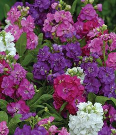Matthiola incana (stock) 'Hotcakes' is a cool season annual for fall and winter beds, borders, containers, or window boxes.