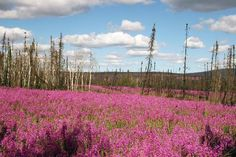 Field of Fireweed - had fireweed ice cream when in Anchorage, very good-