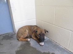 """***URGENT - YOUNG PUPPY ALERT! 12/2017  Name :""""31517"""" Sex    :Female Age    :0 Years, 10 Months   (01-29-2017) Animal # :60342 Species   :Dog Breed      :Shep-X / Unknown Color     :brindle Marking : Neutered   :No Lee County Animal Services Sanford NC"""