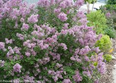 Proven Winners - Bloomerang® Purple - Reblooming Lilac - Syringa x purple lavender plant details, information and resources. Organic Gardening, Gardening Tips, Gardening Zones, Kitchen Gardening, Bloomerang Lilac, Online Plant Nursery, Lilac Bushes, Natural Pesticides, Syringa