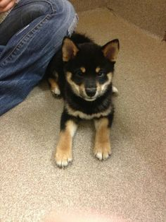 A Sheba Inu ! I want it so bad, but we are adopting an adult ❤️✨
