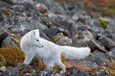Liška polární, Špicberky Goats, Wild Animals, Goat, Wild Ones