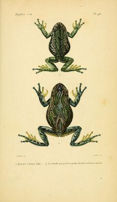 n250_w1150   Erpétologie générale, ou, Histoire naturelle co…   Flickr