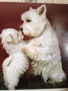Handy Dog Training Tips Westie Puppies, Terrier Puppies, Westies, Cute Puppies, Dogs And Puppies, Doggies, Schnauzer, Le Terrier, West Highland White Terrier