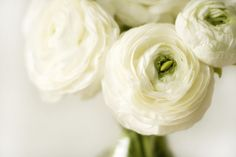 White ranunculus (Anemone) Great cut flower for in any bouquet. Suitable for climatezone 7 thru climatezone 10  Cutflowers from June until July  Prefers Well Drained Soil  Delivery size: 2/3 cm, Minimum for Effect: 25 Plant bulbs in fall Ranunculus Bulbs