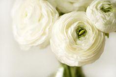 White ranunculus (Anemone) Ranunculus Flowers, White Ranunculus, Flower Vases, Ranunculus Wedding, Cut Flowers, White Flowers, Beautiful Flowers, Sugar Flowers, Simply Beautiful