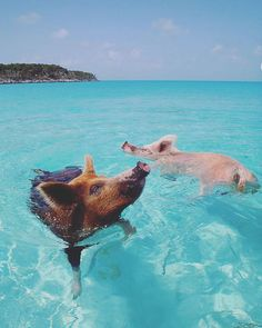"On our #MLGBucketlist is the Pig Beach in Bahamas! ""The pigs are said to have been dropped off on Big Major Cay by a group of sailors who wanted to come back and cook them. The sailors, though, never returned; the pigs survived on excess food dumped from passing ships."" - @wikipedia #Bahamas #PigBeach Edited: my cousin did some research and apparently the pigs are being killed to control their population"