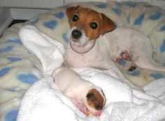 Jack Russell Terrier and puppy