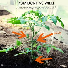#pomidory w ogrodzie - które liście i pędy usuwamy w pomidorach i dlaczego?  #ogród warzywny - porady