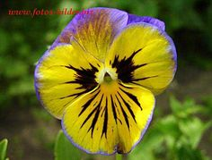 Pansy - my favorite flower