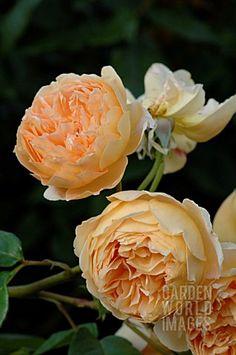 ROSA_CROWN_PRINCESS_MARGERITA_ROSE_AUSWINTER_ENGLISH_ROSE_DAVID_AUSTIN
