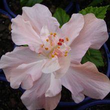Enid Lewis hibiscus (grow in pots with ivy) under jasmine