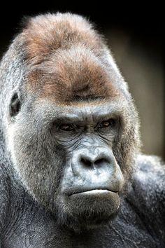 Grumpy old low land gorilla Primates, Mammals, Amazing Animals, Animals Beautiful, Gorila Albino, Animals And Pets, Cute Animals, Zoo Animals, Gorilla Tattoo