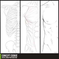 Anatomy Resource: Male Upper Body by ~ConceptCookie on deviantART