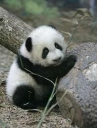 baby panda! :)