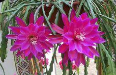 Orchidejový kaktus: Nenáročná kytka, která ozdobí vaši domácnost Indoor Plants, Flowers, Cactus