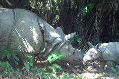 Descubren tres crías del rinoceronte más raro del mundo #Animales #Ciencia #Extincion