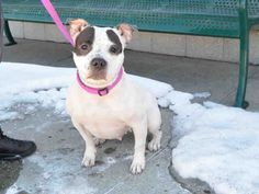 SIYA - A1106887 - - Brooklyn  TO BE DESTROYED 03/28/17 **NEEDS A NEW HOPE RESCUE TO PULL**  A volunteer writes: Sweet little Siya seems shy at first (shes very close to the ground with her short little legs and doesn't love it when people approach her from above), but warms up very quickly and turns into the sweetest little sausage ball of love. Siya loves to jump all over you and give you kisses, and although she pulls a bit on the leash, she walks with such determin