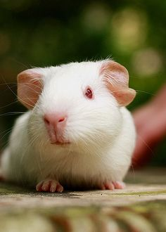 Casper the guinea pig | by fizzyjess