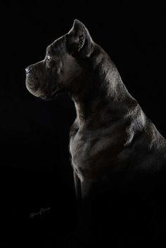 Gorgeous Cane Corso Pup