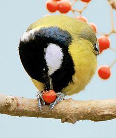 Parus major Pretty Birds, Beautiful Birds, Parus Major, Great Tit, All Birds, Exotic Birds, Bird Species, Flocking, Bird Feathers