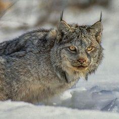 A Canadian Lynx.  By Paul Nicklen