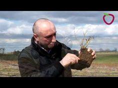 Plantacje borówki w pierwszych latach prowadzenia - YouTube